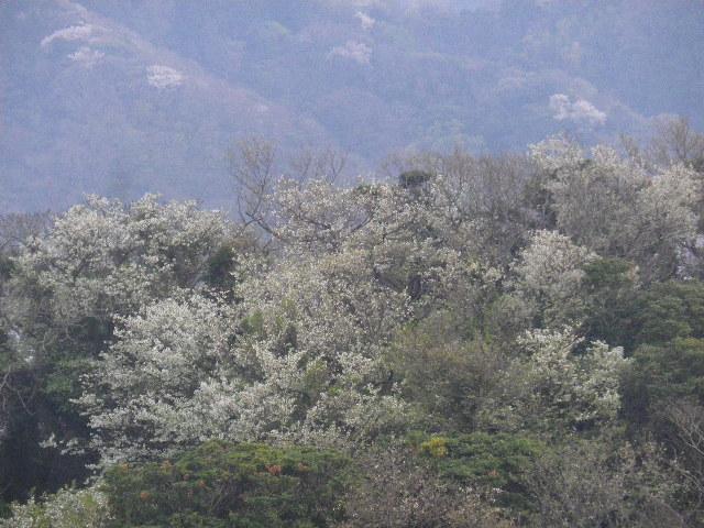 15-2) 15.04.01 「逗子市立 披露山公園」の桜