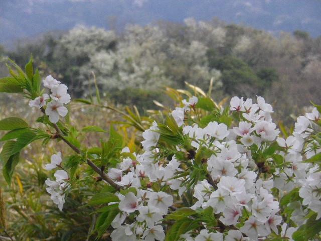 17-3) 15.04.01 「逗子市立 披露山公園」の桜