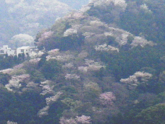 18-2) 15.04.01 「逗子市立 披露山公園」の桜