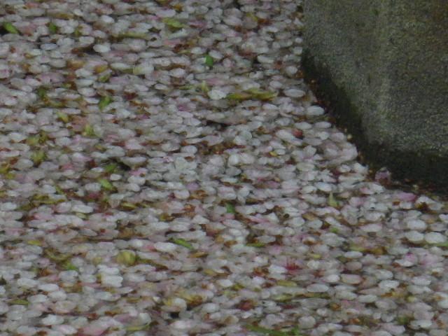 01-2) 15.04.04雨 鎌倉「鶴岡八幡宮」雨の観桜