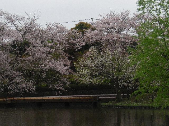 08) 15.04.04雨 鎌倉「鶴岡八幡宮」雨の観桜