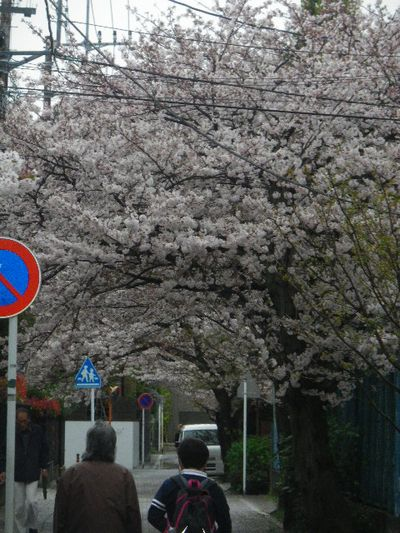 02) 15.04.04雨 清泉小学校周辺道路の桜 _ 鎌倉市雪ノ下