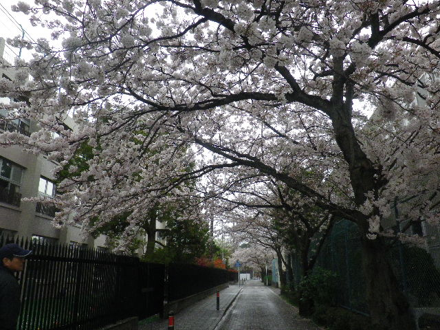 04) 15.04.04雨 清泉小学校周辺道路の桜 _ 鎌倉市雪ノ下