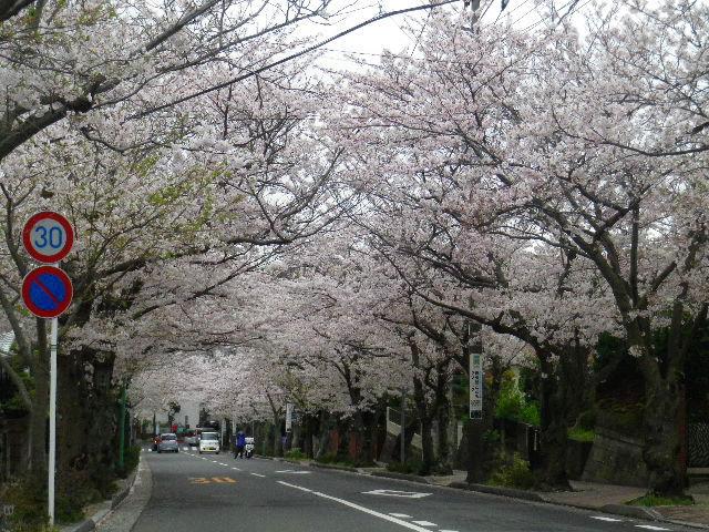 04) 15.04.04曇天  風雨に耐えている「鎌倉逗子ハイランド」の桜