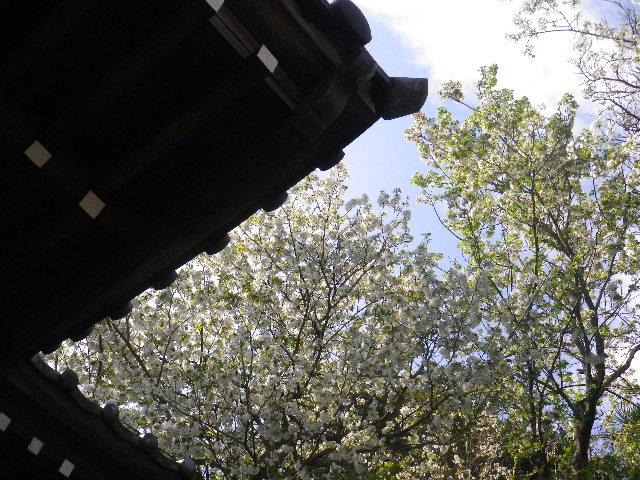 04)  15.04.06 鎌倉「星井寺」 ' 虚空蔵堂 ' 桜の頃 _  鎌倉市坂ノ下