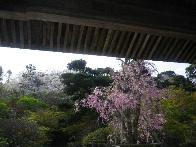 05-1)  15.04.06 桜咲く頃、鎌倉「長谷寺」を外部から眺めた。