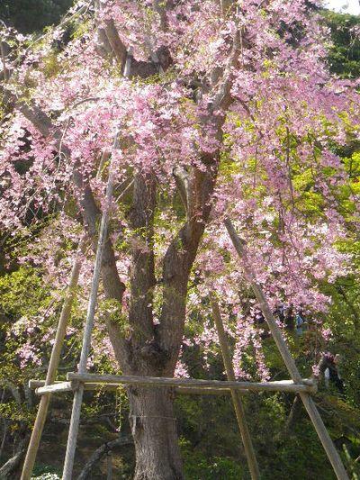 05-2)   15.04.06 桜咲く頃、鎌倉「長谷寺」を外部から眺めた。