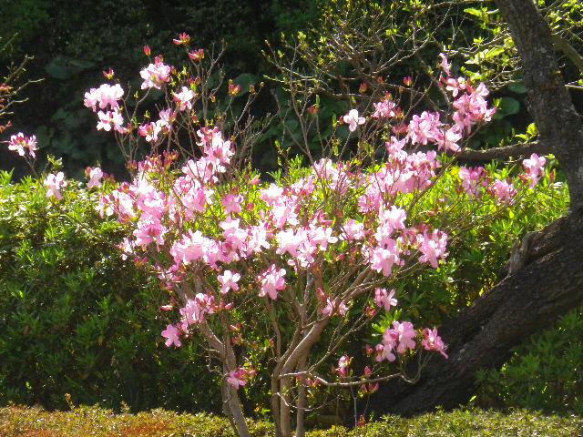 07)  15.04.06 桜咲く頃、鎌倉「長谷寺」を外部から眺めた。