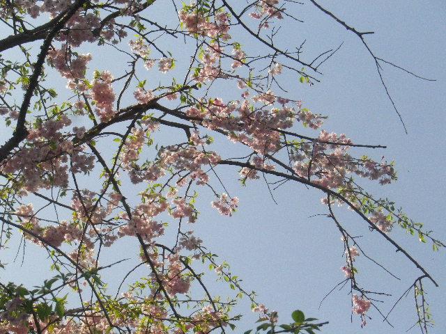 08-2)  15.04.06 桜咲く頃、鎌倉「長谷寺」を外部から眺めた。