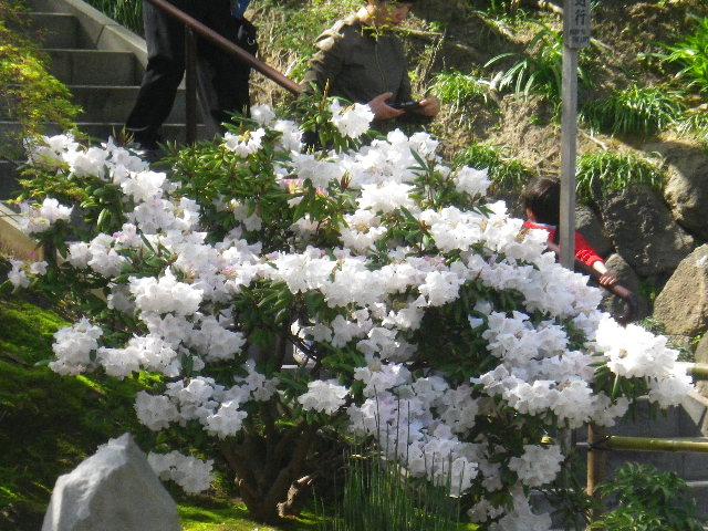 09-1)   15.04.06 桜咲く頃、鎌倉「長谷寺」を外部から眺めた。