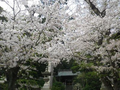 03) 15.04.06 ' 山の音 '、鎌倉最古「甘縄神明宮」桜の頃。