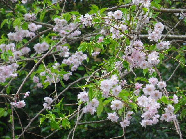 07-2) 15.04.06 ' 山の音 '、鎌倉最古「甘縄神明宮」桜の頃。