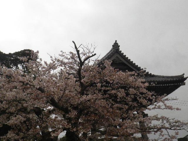 12-4-a) 光明寺の桜