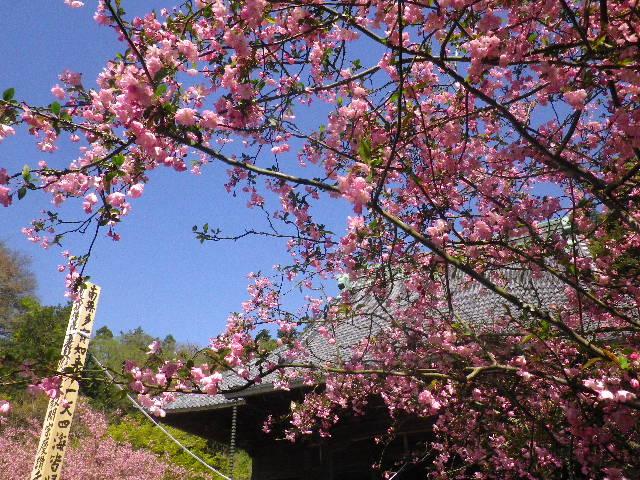 04-1) 15.04.09 鎌倉市「妙本寺」海棠が咲く頃