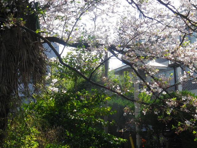 03) 15.04.09 通称 ' 裏駅 ' 時計台と桜 _ 鎌倉駅西口