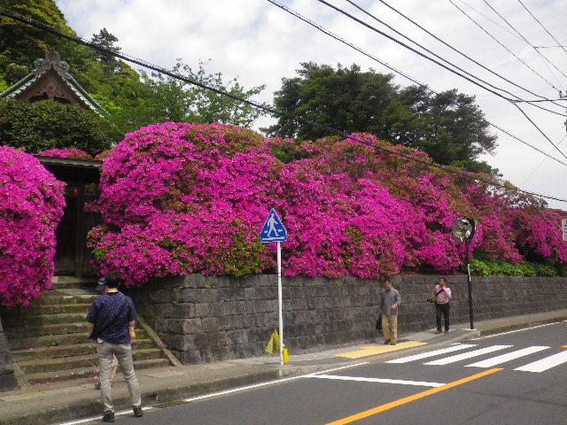 01-5) 15.05.05 ツツジがピークの、鎌倉「安養院」。