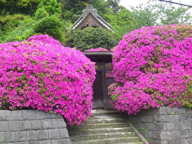 01-6) 15.05.05 ツツジがピークの、鎌倉「安養院」。
