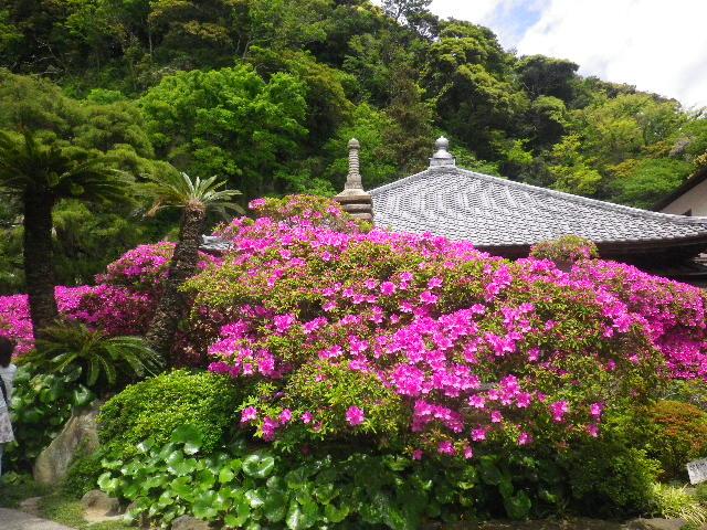 03-1) 15.05.05 ツツジがピークの、鎌倉「安養院」。