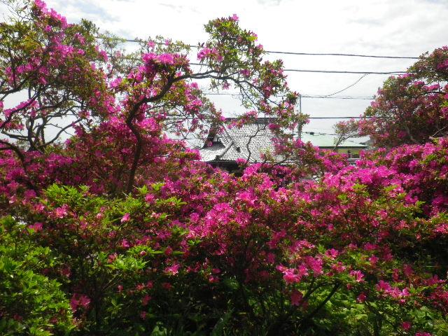 04-6) 15.05.05 ツツジがピークの、鎌倉「安養院」。