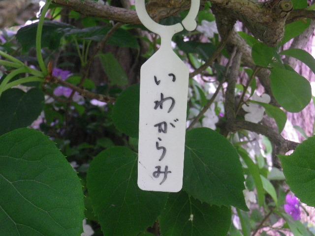 03-1) イワガラミ