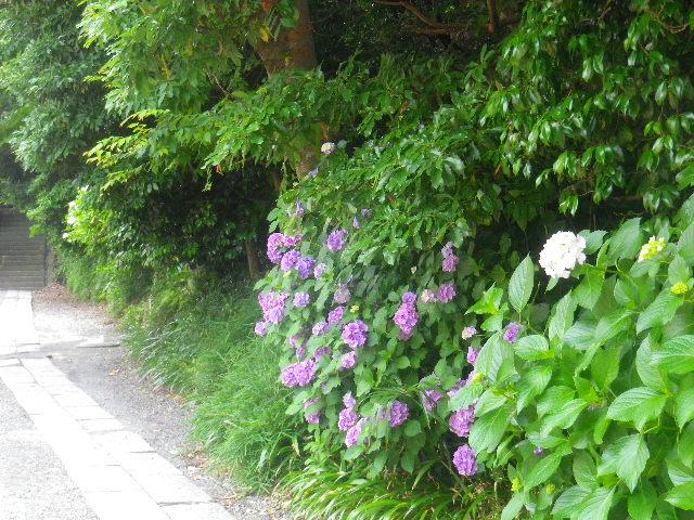 01) 「蛇苦止堂」方向道路沿いの紫陽花