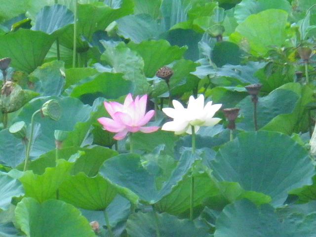 03-7)  ' 平家池 '。 _ 「鶴岡八幡宮」 鎌倉市雪ノ下