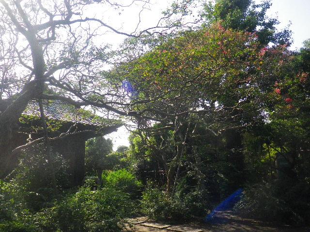 26)  15.09.19 鎌倉「宝戒寺」萩をかき分けて境内を歩く季節