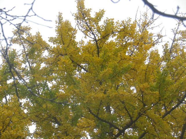 01-3) 銀杏の黄葉