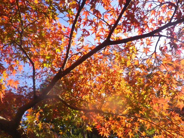 02-1b) ' 柳原神池 ' 周辺 _ 15.11.30 鎌倉「鶴岡八幡宮」葉が色づき始める頃