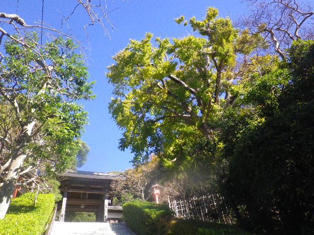 01) _ 15.12.05 鎌倉「荏柄天神社」受験合格祈願者が集う頃