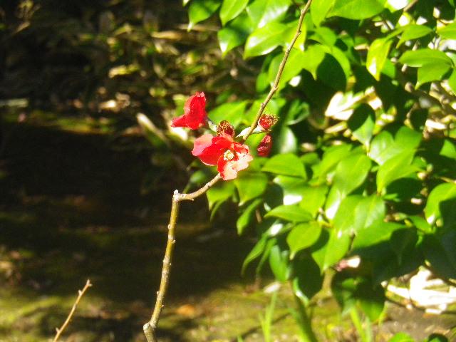 14-1) これまで梅の頃にコレを紅梅と呼んできたが、12月の初旬に咲いているので自信がなくなった。