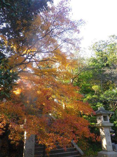 03-2)   15.12.12 鎌倉「長勝寺」枯木は紅葉の終焉を迎え、若木は未だ楽しめる。