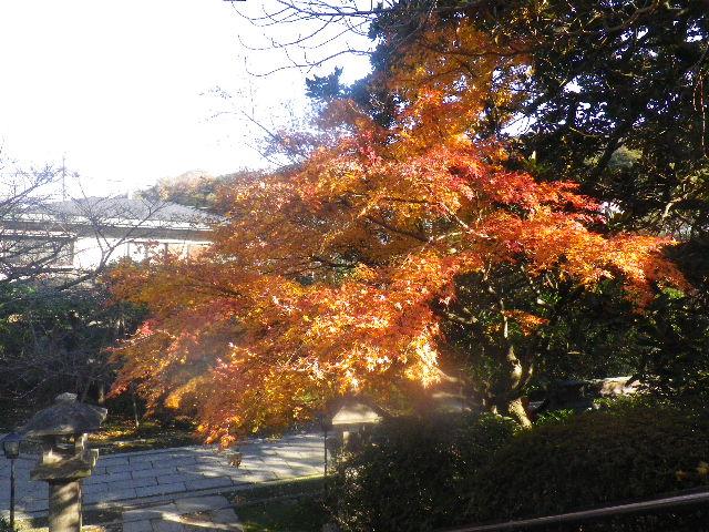 03-5)   15.12.12 鎌倉「長勝寺」枯木は紅葉の終焉を迎え、若木は未だ楽しめる。