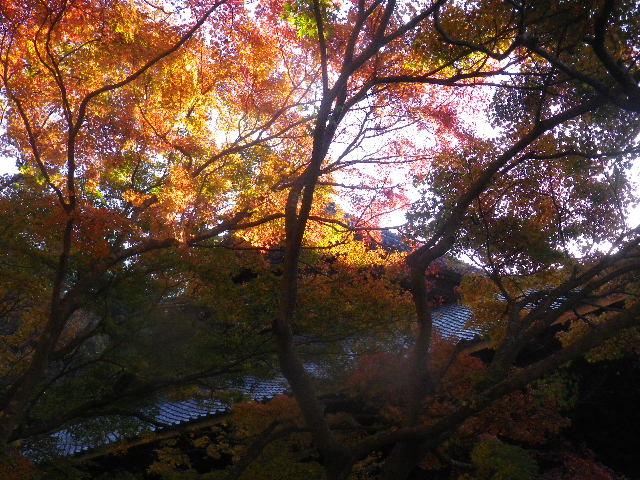 16-3)  15.12.12 鎌倉「妙本寺」紅葉の最盛期
