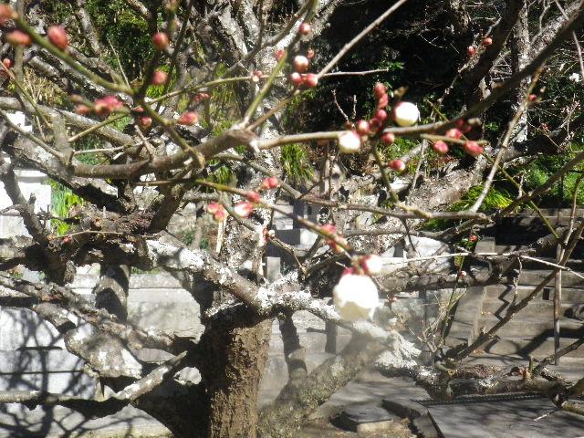 04-3)   16.01.25 消防訓練日だった、鎌倉「妙本寺」の梅。