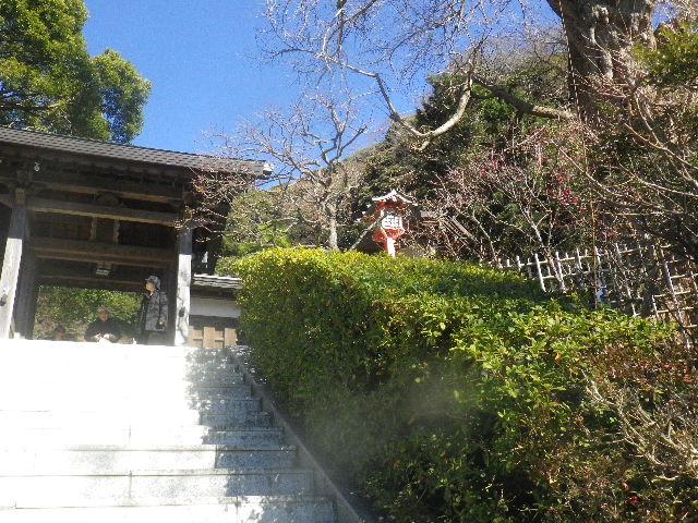 02-1) 階段右側の梅 _ 16.01.27 鎌倉「荏柄天神社」梅満開の頃に初詣