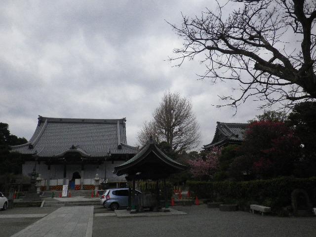 01-1) 16.02.24 本堂改修の足場を解かれた 鎌倉「本覚寺」、祝うように咲く梅と河津桜。