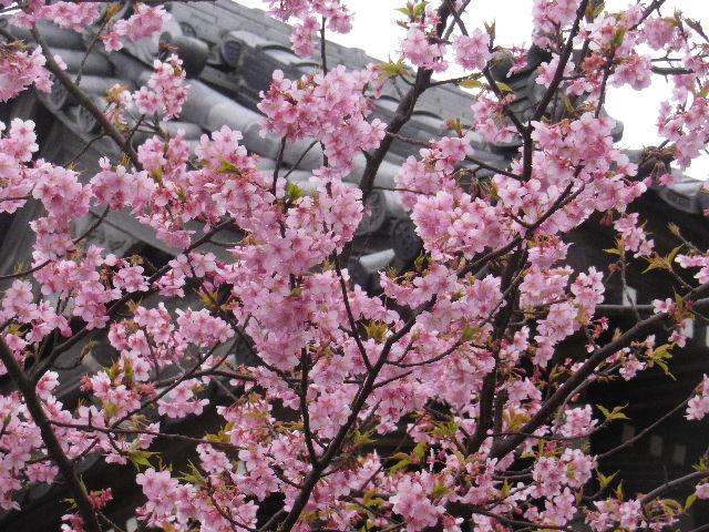 03-2) 鐘楼周辺の河津桜 _ 16.02.24 本堂改修の足場を解かれた 鎌倉「本覚寺」、祝うように咲く梅と河津桜。