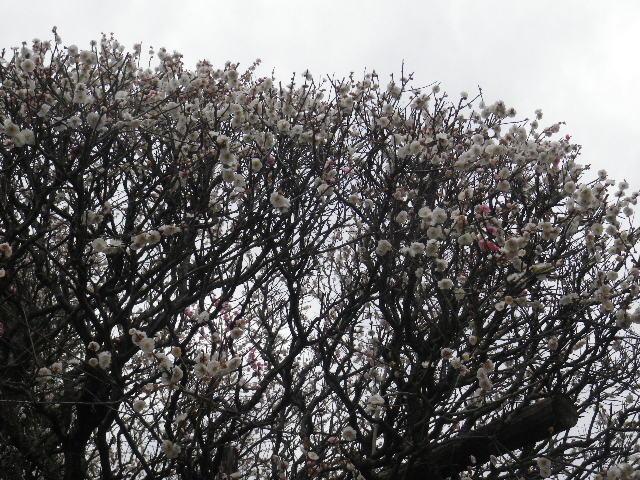 01-2) 16.02.24 満開前で、私にとって見頃の梅 鎌倉「宝戒寺」。
