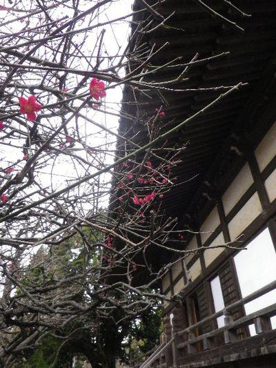 12) 16.02.24 満開前で、私にとって見頃の梅 鎌倉「宝戒寺」。