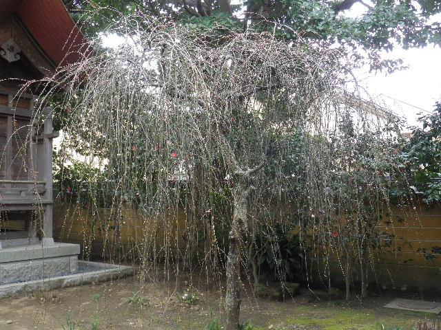 13-3) 16.02.24 満開前で、私にとって見頃の梅 鎌倉「宝戒寺」。