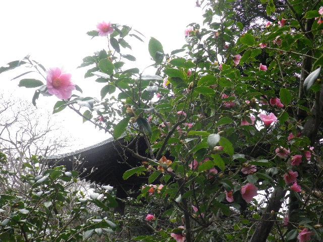 15) 16.02.24 満開前で、私にとって見頃の梅 鎌倉「宝戒寺」。