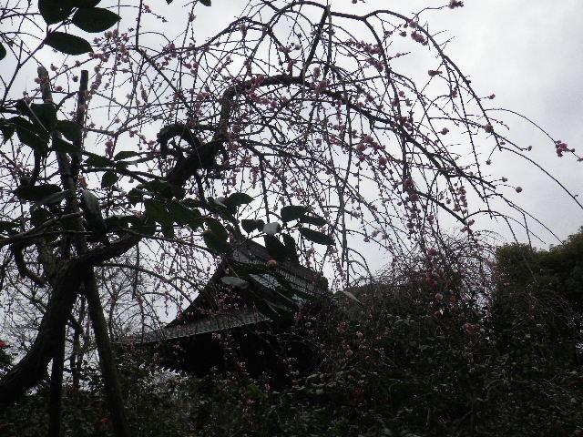 20) 16.02.24 満開前で、私にとって見頃の梅 鎌倉「宝戒寺」。