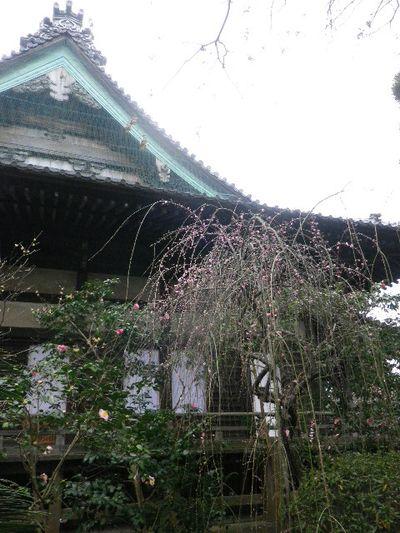 21-1) 16.02.24 満開前で、私にとって見頃の梅 鎌倉「宝戒寺」。