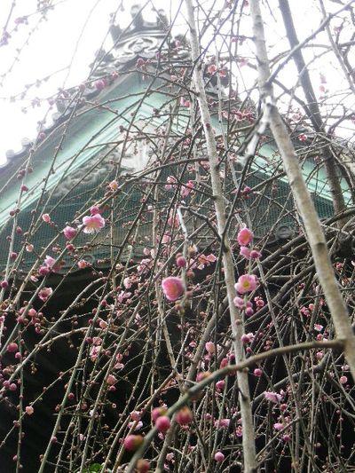 21-2) 16.02.24 満開前で、私にとって見頃の梅 鎌倉「宝戒寺」。