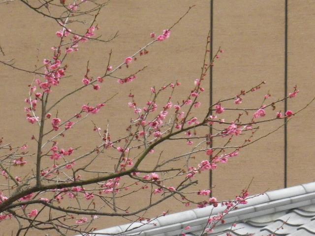 03-2) アラン・ドロン氏も見たであろう梅の木 _ 16.02.24 「鎌倉市 川喜多映画記念館」の梅と、玉縄桜&河津桜。