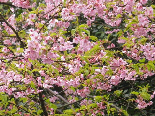 02-3) 大殿左側の河津桜 _ 16.02.24 鎌倉「光明寺」の河津桜」