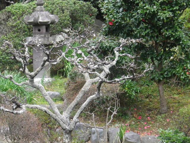 03-1) 記主庭園の梅の花を撮ったつもり  _ 16.02.24 鎌倉「光明寺」の河津桜」