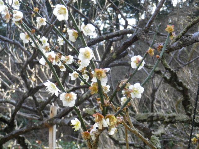 01-2)16.03.04 鎌倉「光則寺」梅が咲く頃