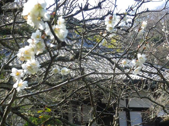 07-2) 16.03.04 鎌倉「光則寺」梅が咲く頃